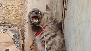 علاج الضبع في المراحل الاخيرة و الضبع حاول مهاجمة كلب الاكيتا مع جمال العمواسي Youtube