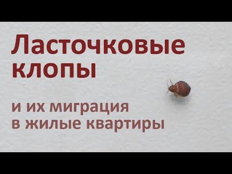 Видео: Ласточковые клопы в квартире - не спутайте их с обыкновенными постельными клопами!