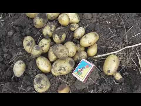 КОПАЕМ КАРТОШКУ КОРОЛЕВА АННА. | картошка