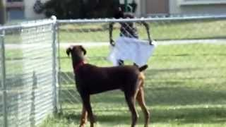 My Doberman Pinscher At The Dog Park