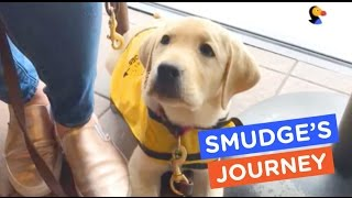 A Guide Dog's Life: Smudge's Journey Ep. 13   The Dodo
