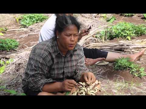Tonga Tongatapu Agriculteurs traditionnels / Tonga Tongatapu Traditional farmer