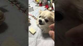 コユの  1番怖い顔でち!! thumbnail