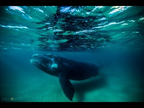 Freshwater Beach Southern Right Whale by Saltmotion / Joel Coleman