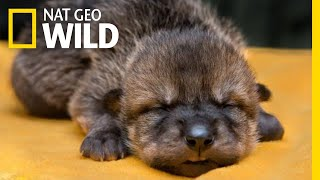 Rare Mexican Wolf Pups Meet Their Wild Foster Families | Nat Geo Wild