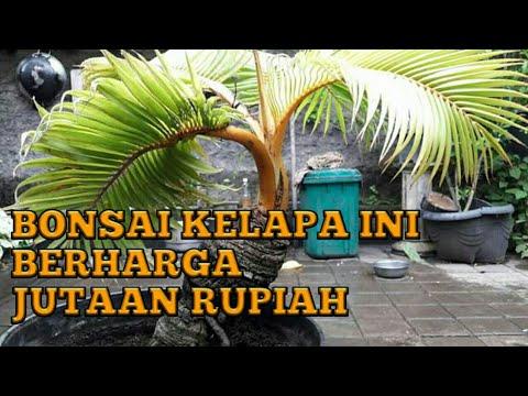 Harga Bonsai Kelapa Ini Jutaan Rupiah Wow Bki Jaya Youtube