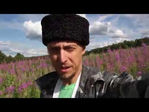 Иван чай заготовка видео ::