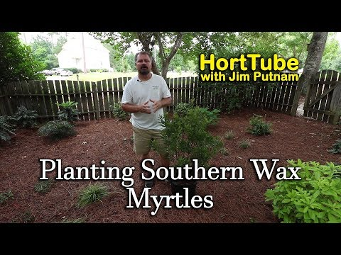 Planting Wax Myrtles Fast Growing Native Evergreen Screening Plant Youtube