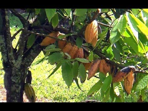 Yellow cocoa pods ripen at Dole plantation on Oahu island Hawaii