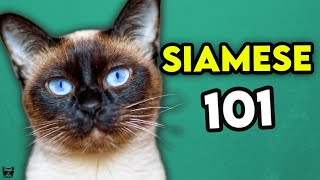 Siamese Cat 101 - Learn EVERYTHING About Them!