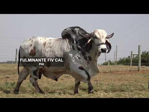LOTE 12   ORIA FIV CAL   CAL 13415