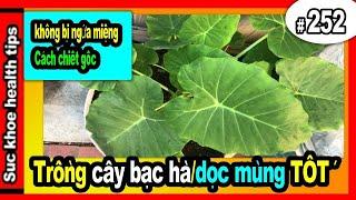 Trôǹg Bạc Hà DỌC MÙNG tốt, không bị NGỨA #252 grow care organic edible taro plant