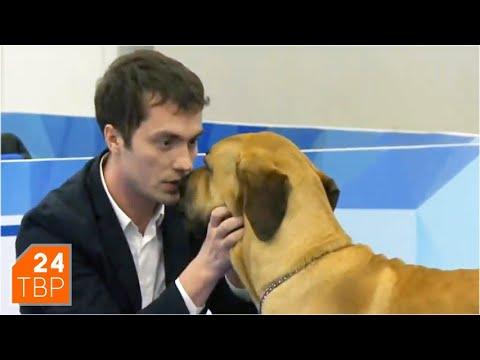 Фила бразилейро – собака для опытных собаководов | Элита | Сергиев Посад
