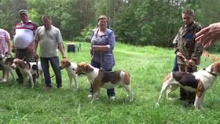 2018 06 23 71 я Пермская краевая выставка охотничьих собак. Выжловки - старшая возрастная группа.