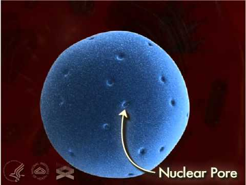 Nuclear Pore 3-D - YouTube Nuclear Pore
