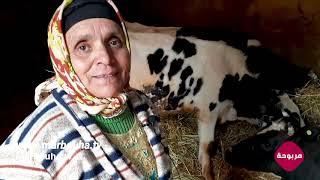 لالة حادة كتولد البقرة 🐄 ( ولادة البقرة )