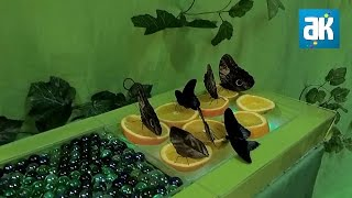 Парк бабочек г. Первоуральск | Бамбуча и Кирюша(Всем привет! Сегодня мы поедем в парк бабочек, который находится в городе Первоуральск! Приятного просмотра..., 2017-01-21T12:25:40.000Z)