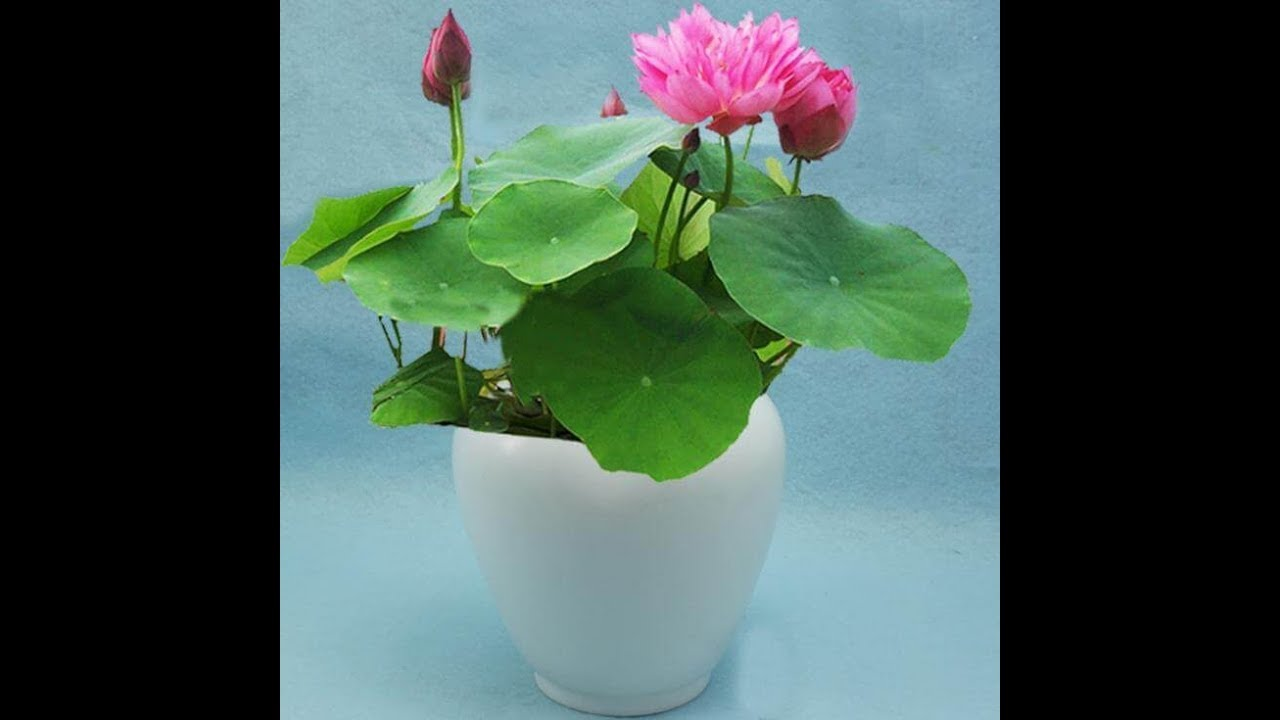 32easiest Way Of Growing Lotus At Home Youtube