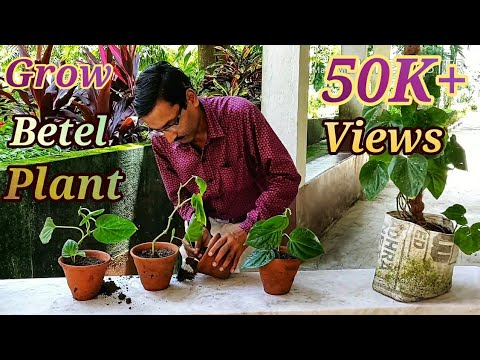 Grow Betel Leaves ( Pan ) Cuttings at your Home Easily.