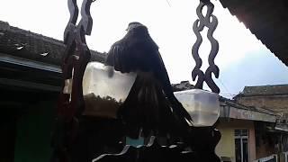 Pikat burung kutilang tua banget
