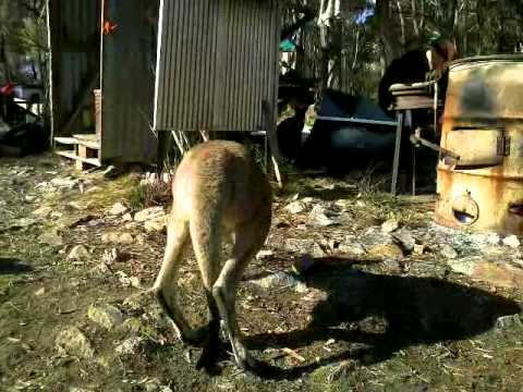Kangaroos & Wallabies, & Tony Abbott's War...