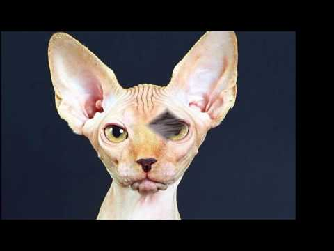 sphynx cat History,Personality,Health,Care