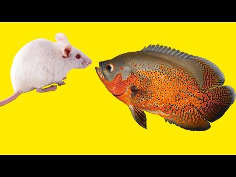 Best Top 5 Oscar Fish Eating | Super Oscar Fish Feeding