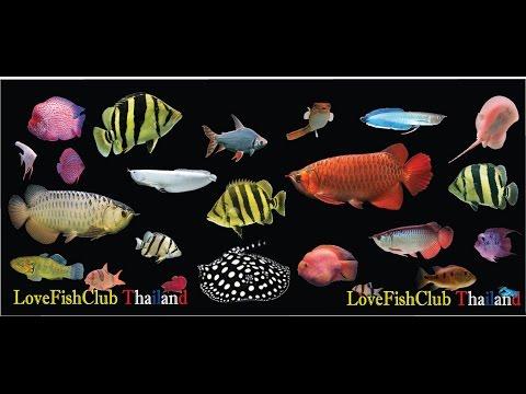 10 อันดับสุดยอดปลาสวยงาม 2558