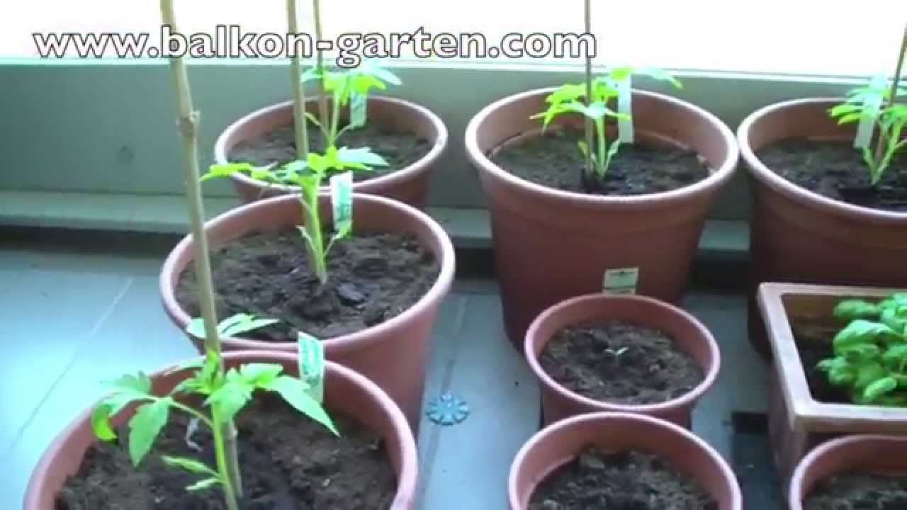 tomaten d ngen das experiment teil 3 balkon salat. Black Bedroom Furniture Sets. Home Design Ideas
