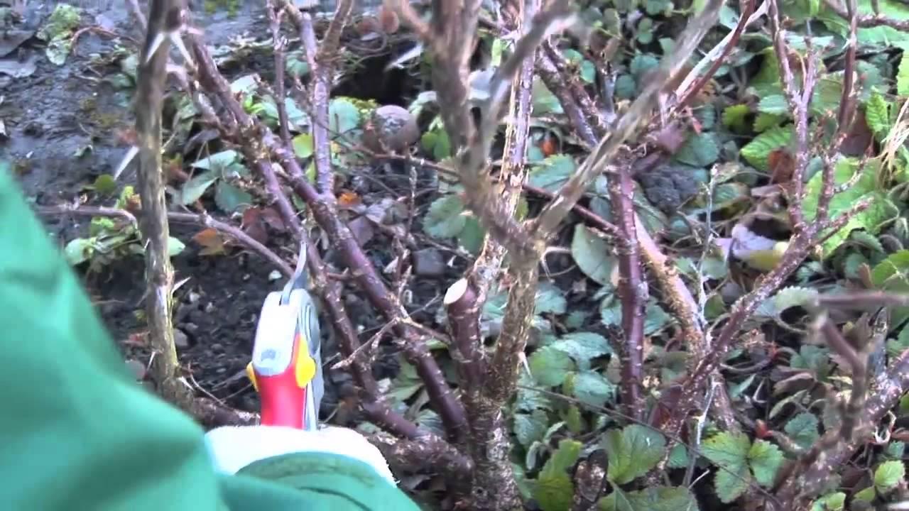 Beliebt Bevorzugt Stachelbeeren schneiden - YouTube #KN_09