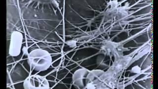 Анатомия и физиология человека  Фильм 1