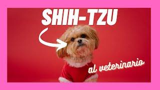 Cuidados de un cachorro de Shih-Tzu