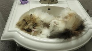15 01 31 Persian kitty, Sequoia, in the sink AGAIN
