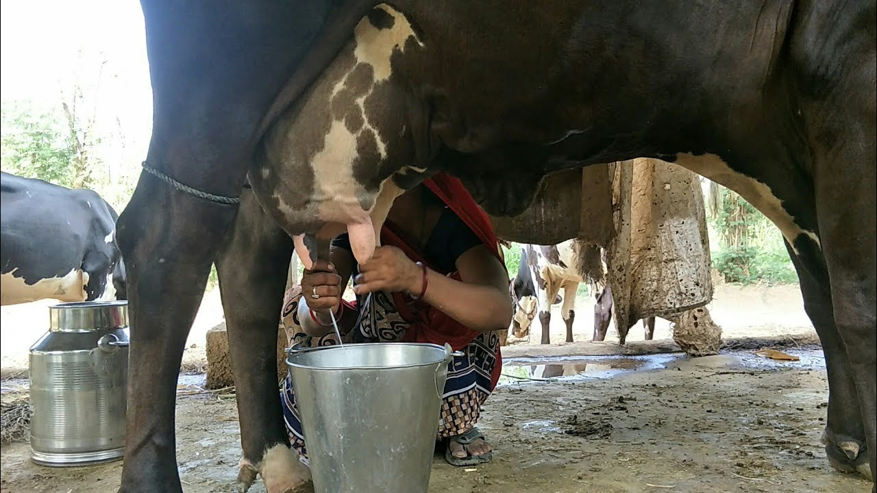 How to get milk from cow