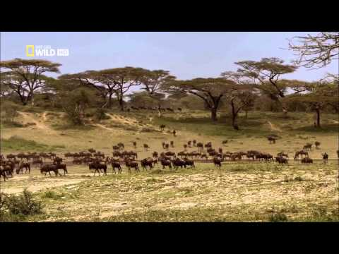 Спасённый львицей - 2011 - Видео онлайн