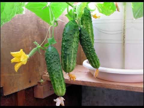Огурцы в мешке выращивание на балконе.