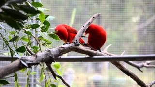 Moluccan Red Lory pair