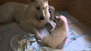 2014年7月5日 ホワイトスイスシェパード仔犬生後34日 6匹の仔犬に マズ...
