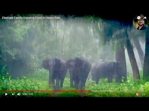 Elephant Family Enjoying Food In Heavy Rain.