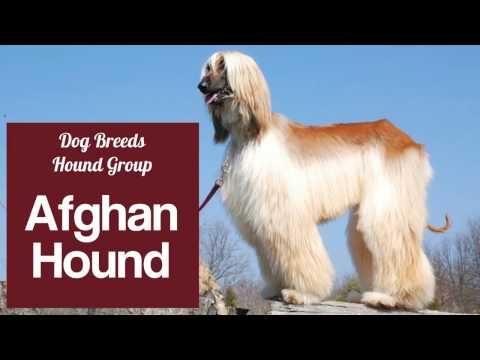 Afghan Hound - Hound Group