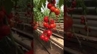 Обзор тепличных томатов агрофирмы Поиск