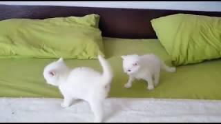 Белые котята дерутся.Батл кота 2. Кокос и Крутон