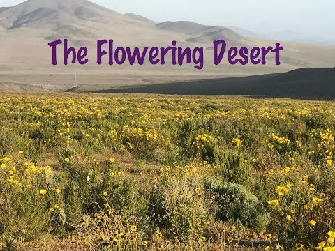 The Flowering Atacama Desert CHILE