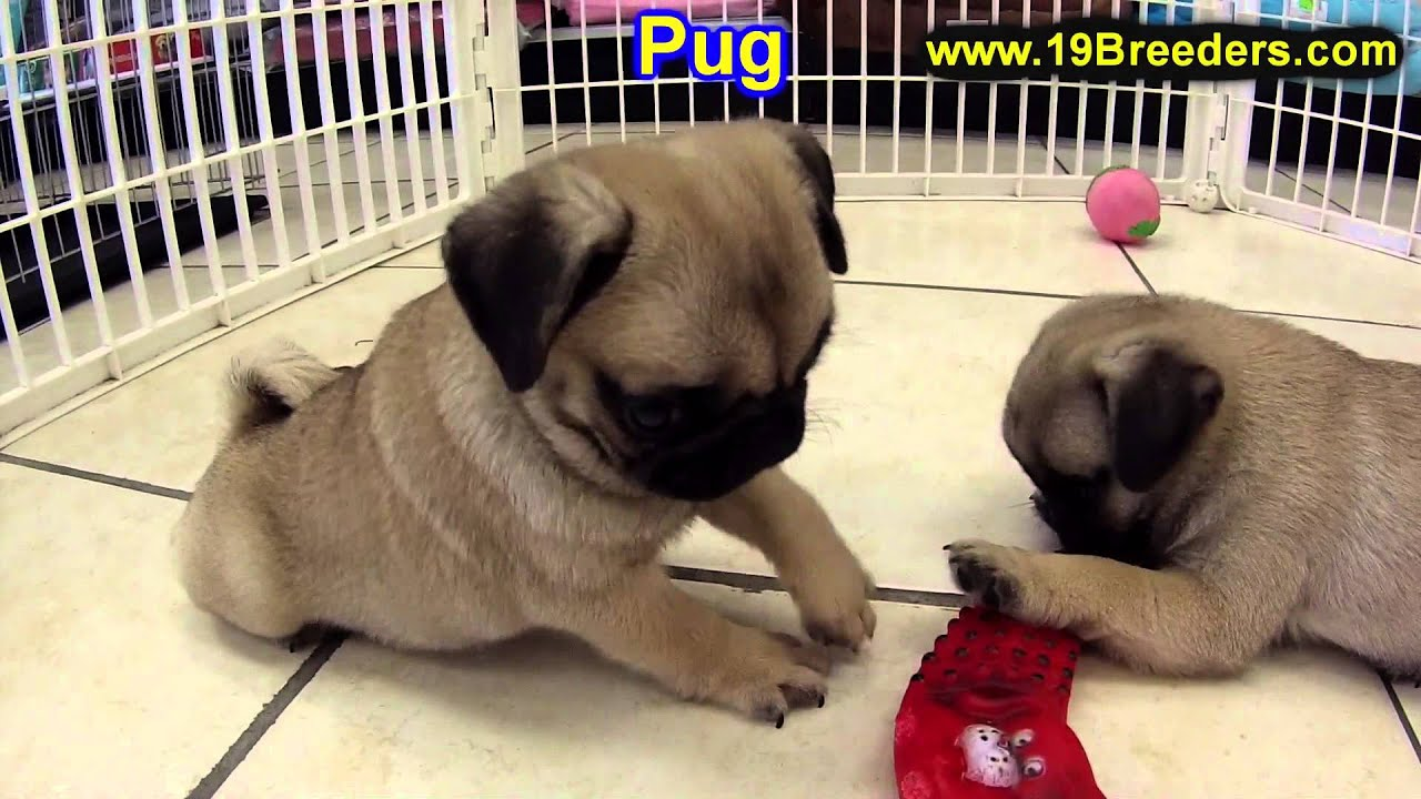 Pug Puppies for Sale in Oklahoma - DogsNow
