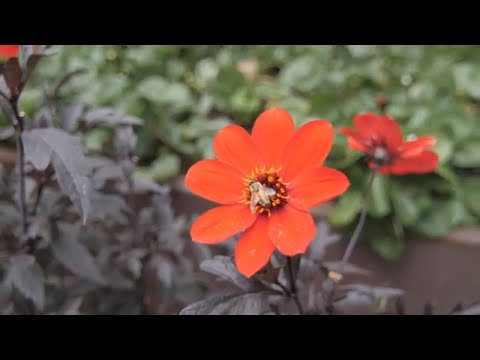 The Best Bee Flowers With OSU Master Gardeners