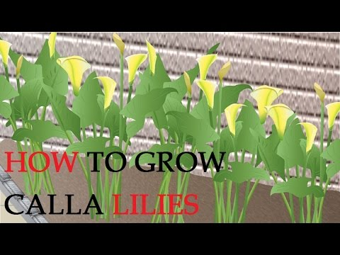 how to grow calla lily flower