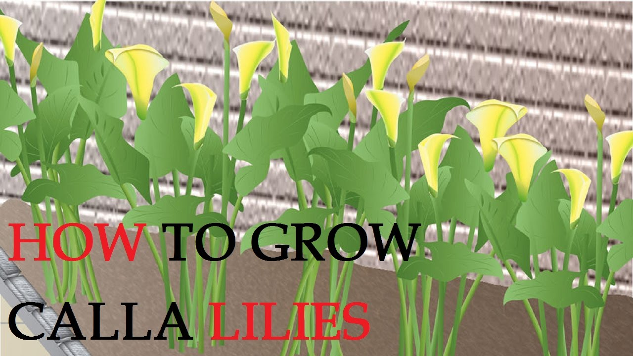 How to grow calla lilies youtube how to grow calla lilies izmirmasajfo Image collections