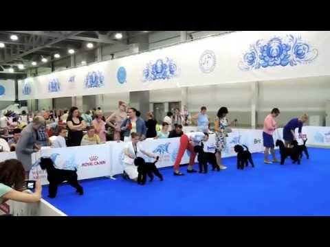 Schnauzer Black - World Dog Show 2016 - Best of Breed