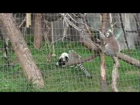 Lemurs at the Detroit Zoo