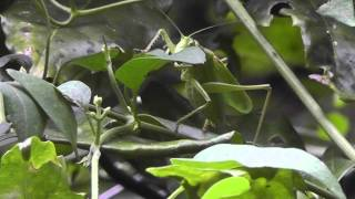 Japan Katydid Bush-Cricket Eating a Leaf - Order Orthoptera